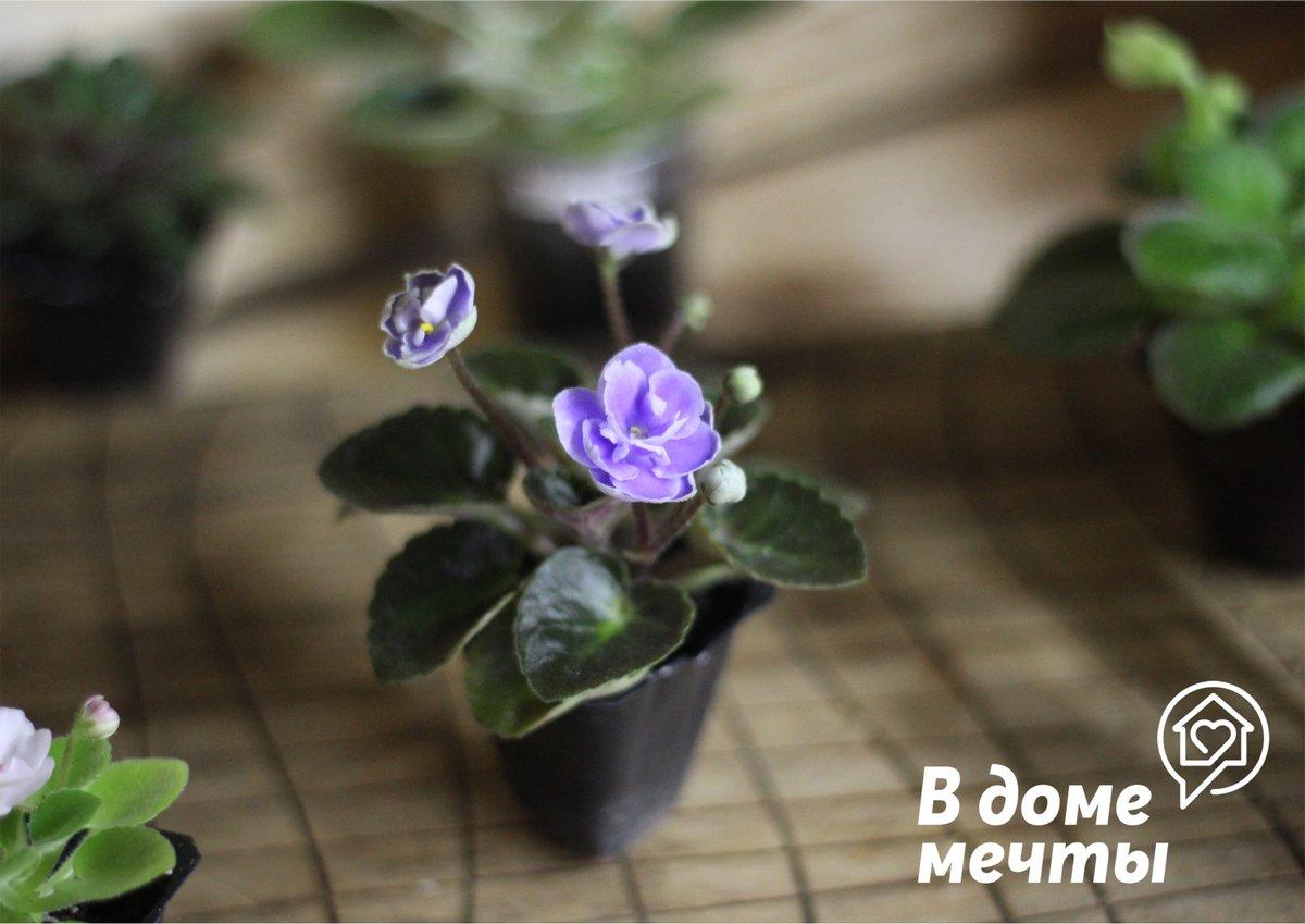 Как выращивать миниатюрные фиалки: мини, полумини, микромини и трейлеры