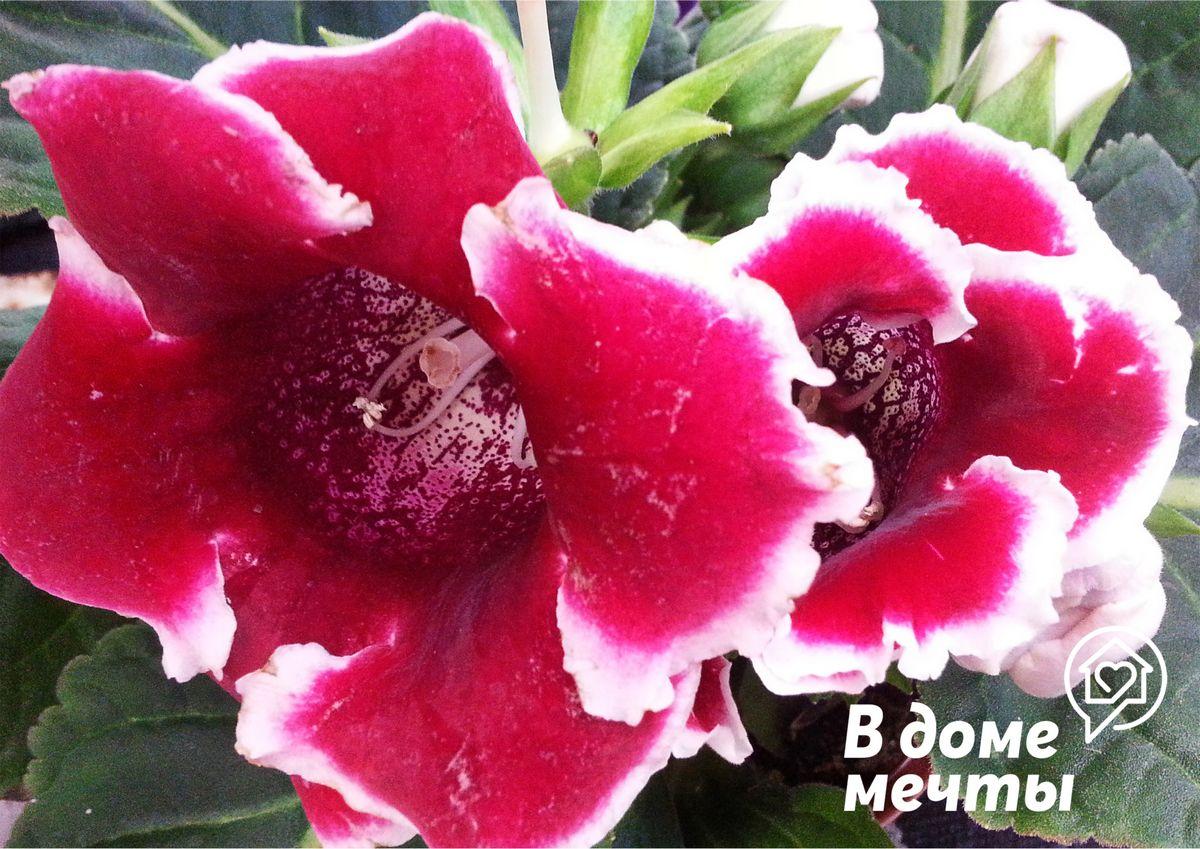 Глоксиния: выращивание, уход и размножение