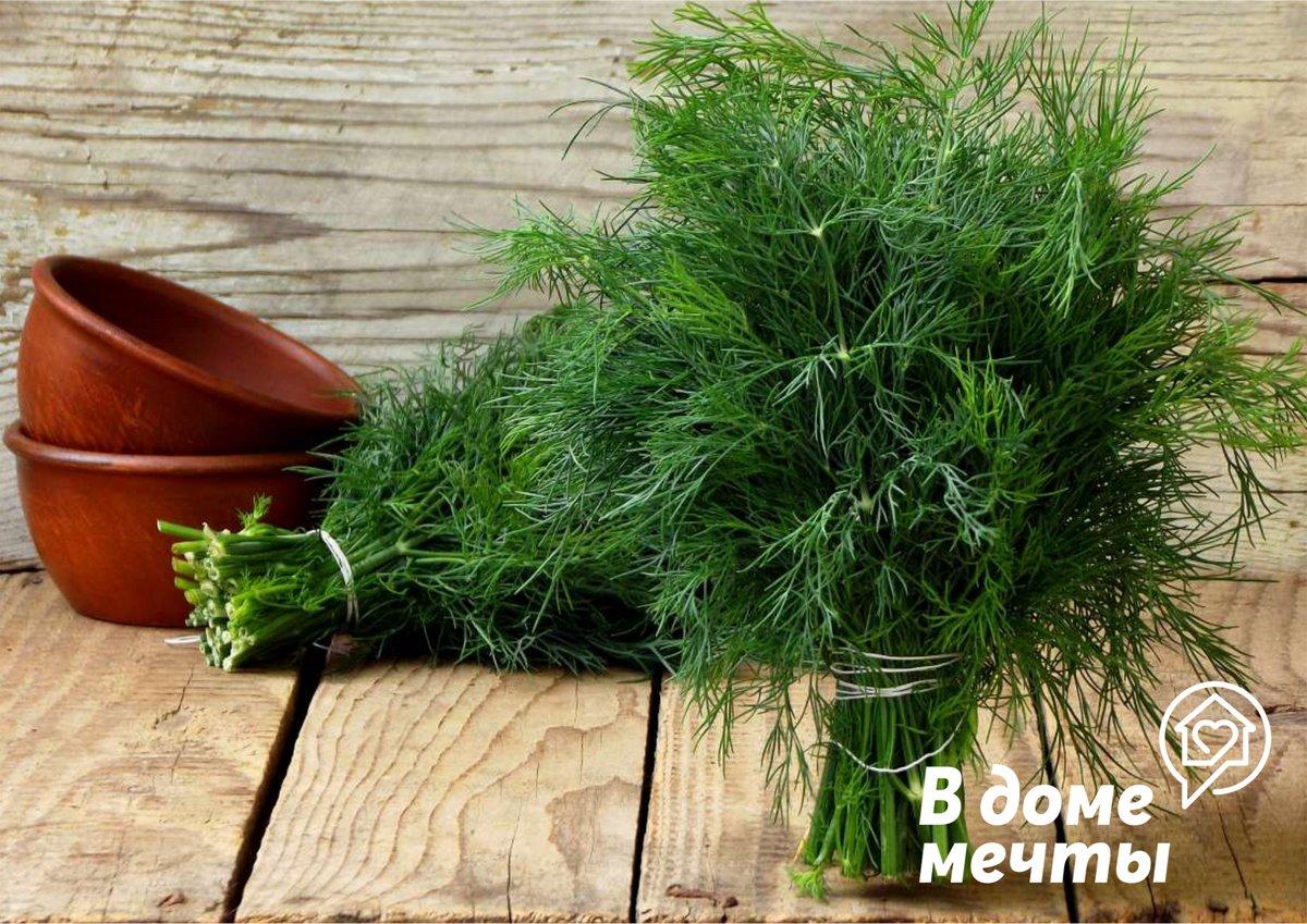 Огород на подоконнике: как вырастить укроп