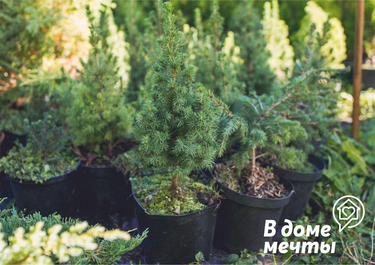 5. Запах елки также важен