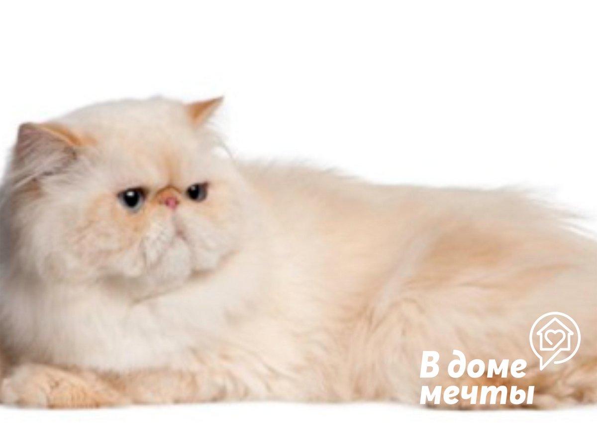 Рацион персидского кота должен состоять из диетического мяса