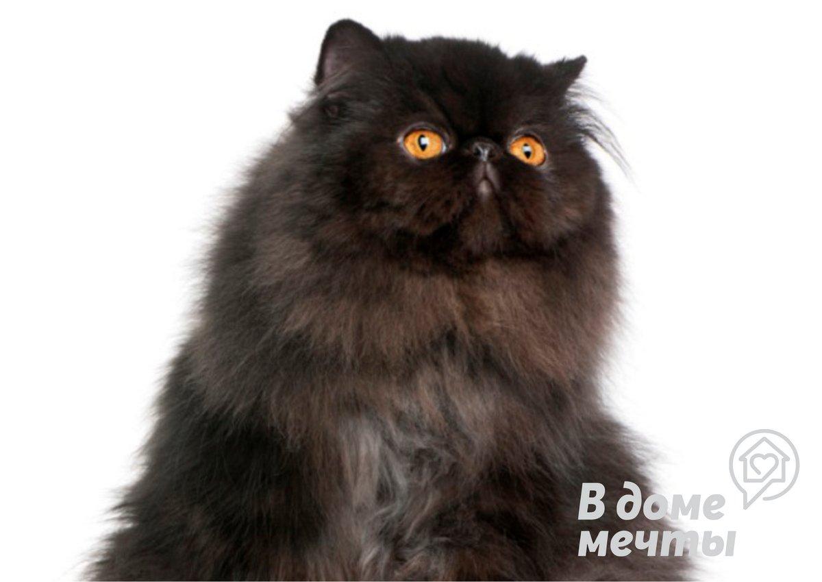 Кому следует завести персидскую кошку
