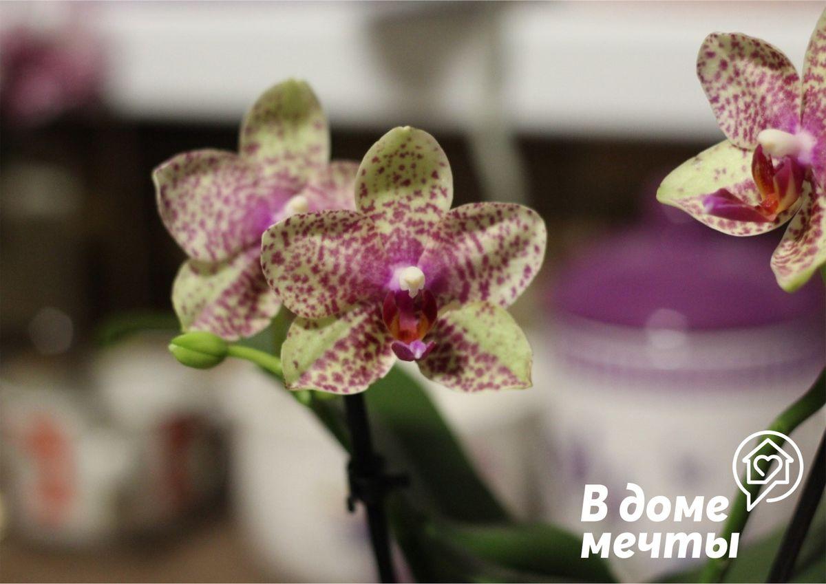 Зимний уход за орхидеей