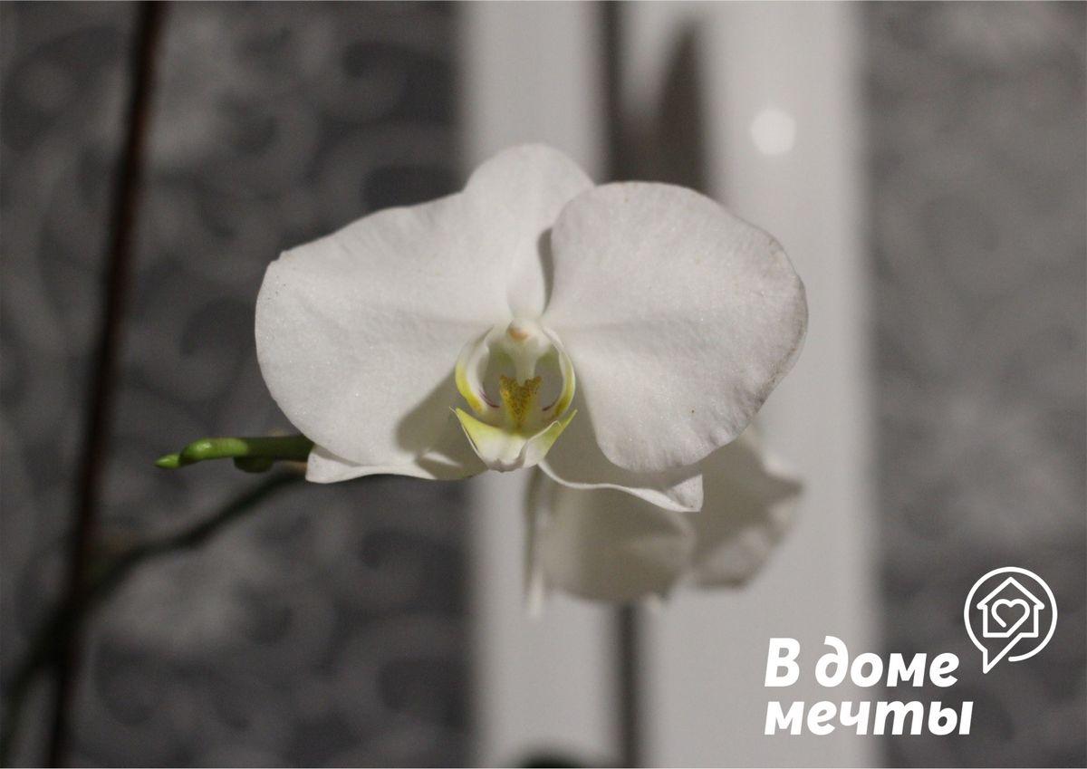 Как продлить период цветения и раскрытия бутонов у орхидеи