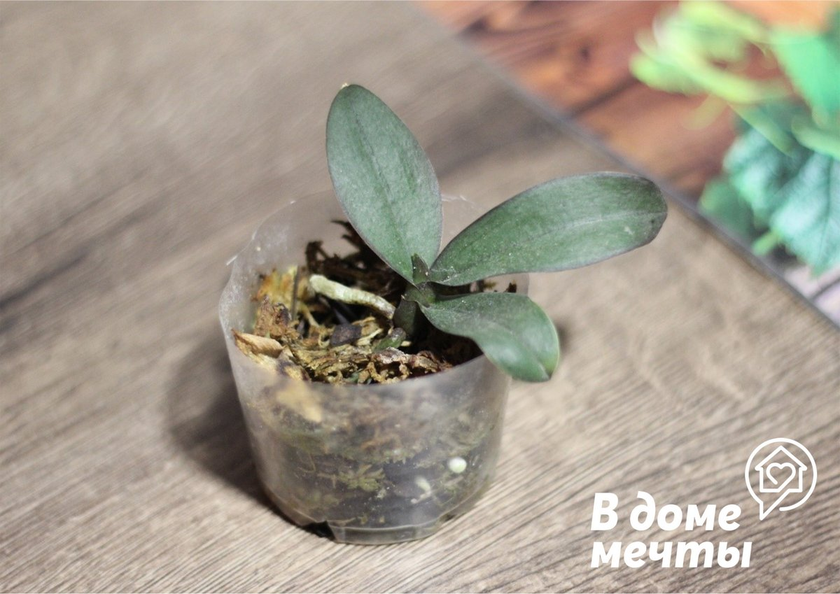 Как вызвать цветение у орхидеи: самые эффективные методы