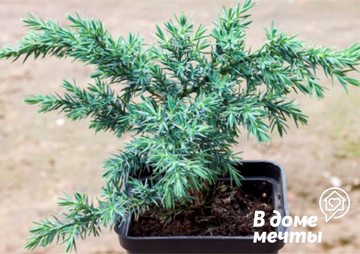 Новогодняя елка в горшке - практичный тренд сезона