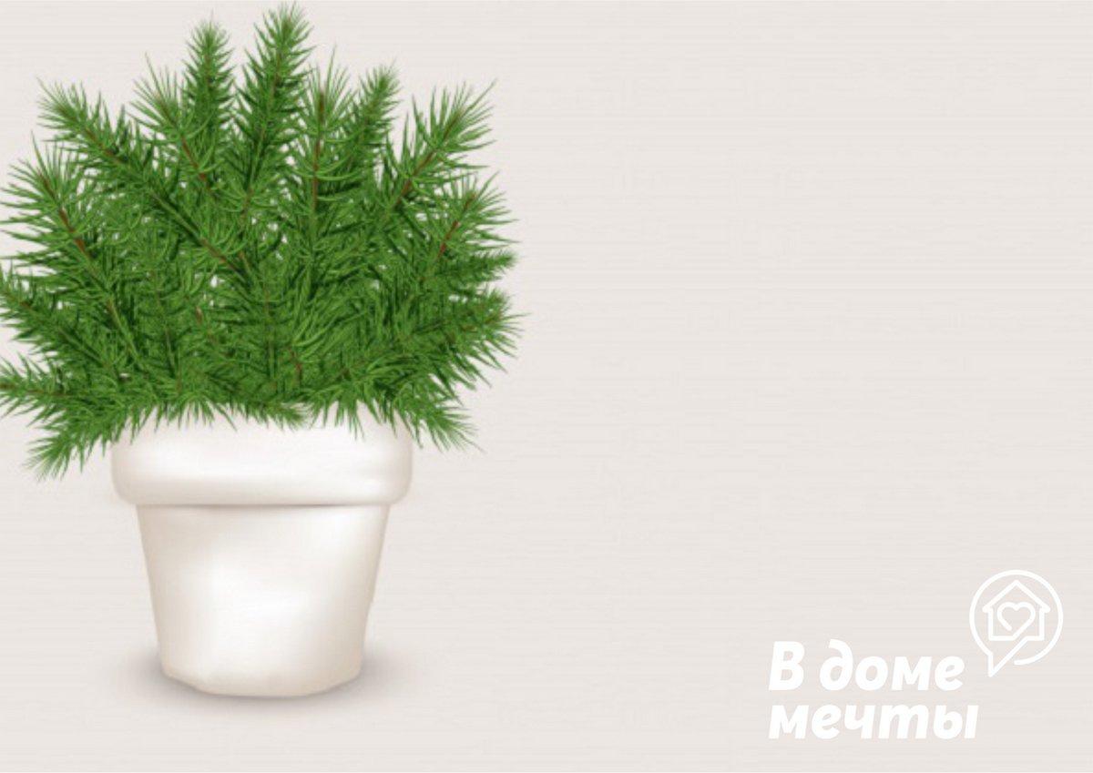 Правила адаптации хвойного растение в доме