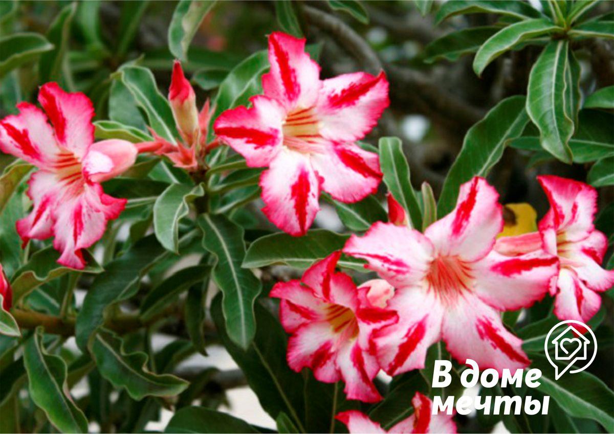 Прекрасная пустынная роза: все об уходе за адениумом тучным