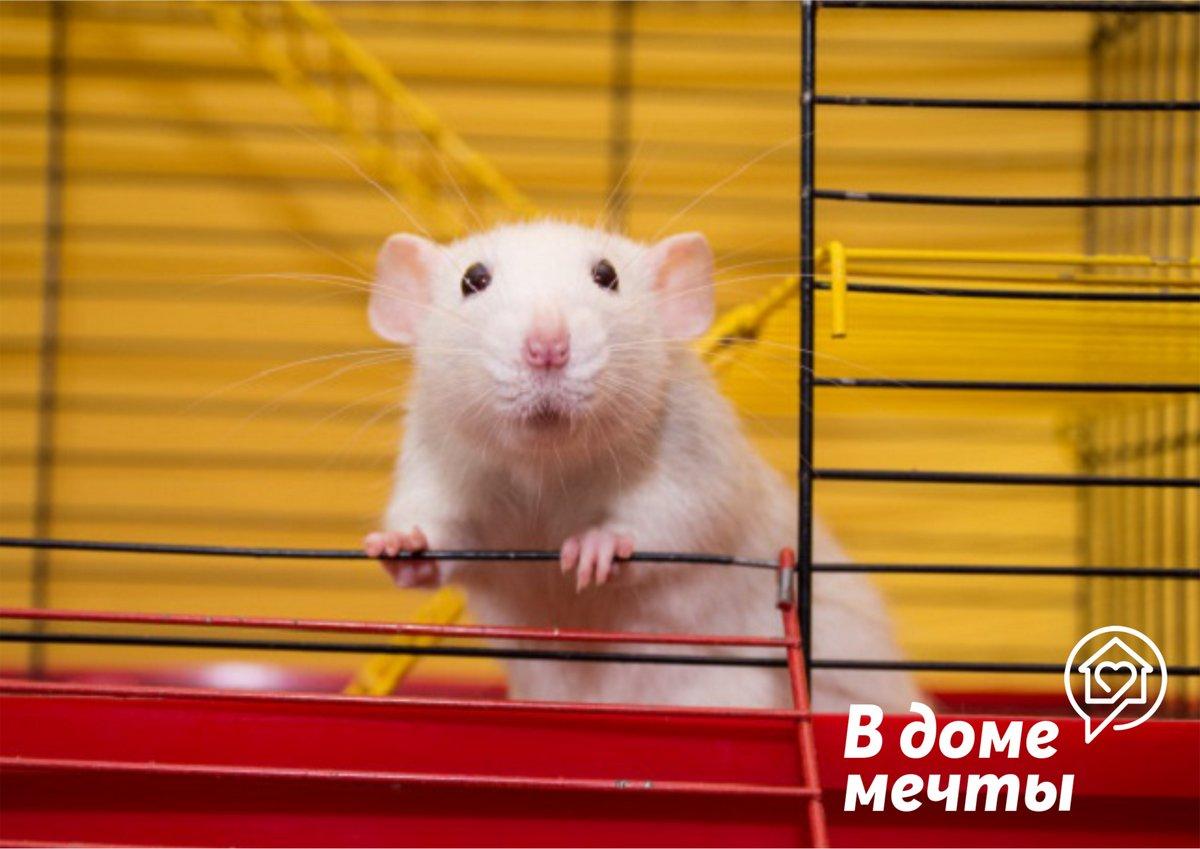 Дамбо: особенности ухода за декоративной породистой крысой