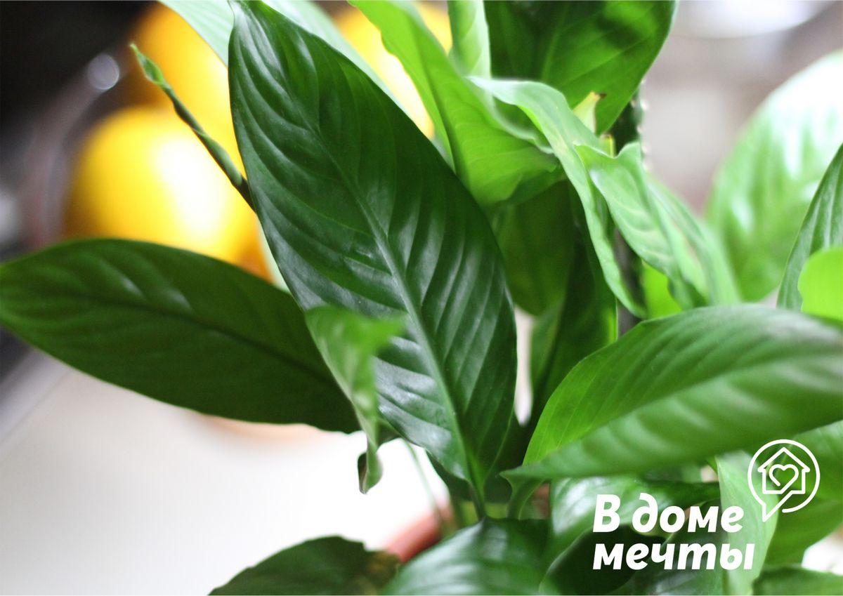 Самое неприхотливое цветочное растение для дома - спатифиллум