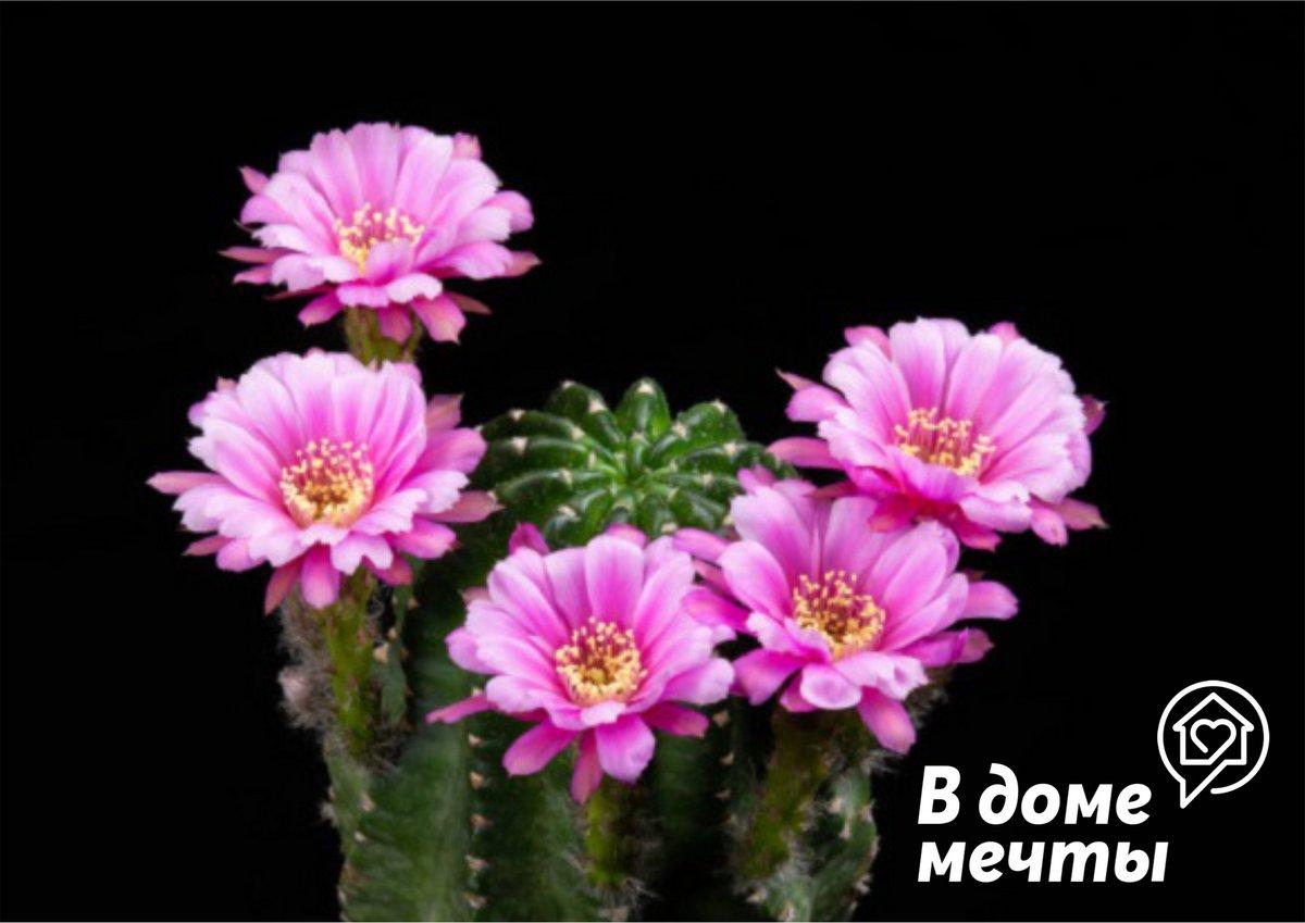 Кактусы и суккуленты с шикарным цветением: топ-7 видов