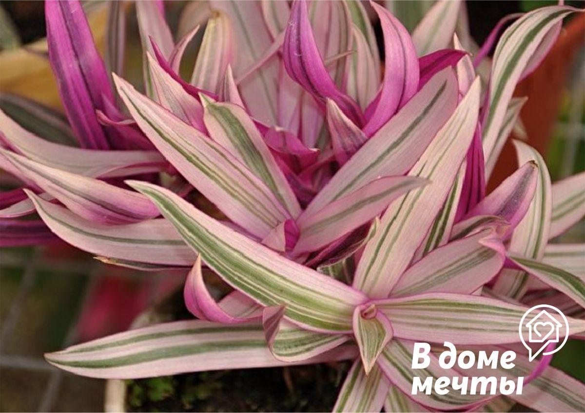 Самое популярное ампельное растение для квартиры: основы выращивания традесканции