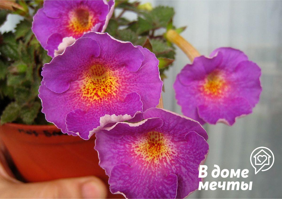 Прекрасный ахименес: основы выращивание изящного комнатного цветка