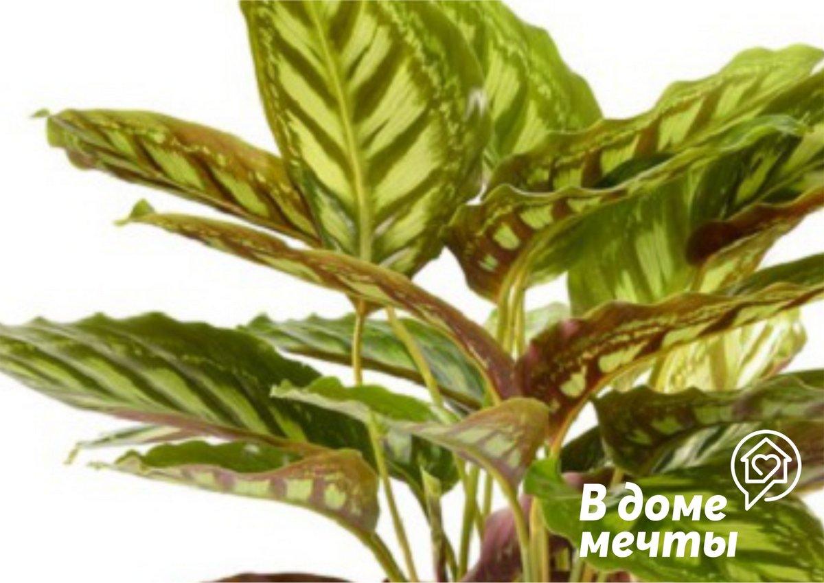 В целом, пересаживать маранту нужно ежегодно, если растение молодое