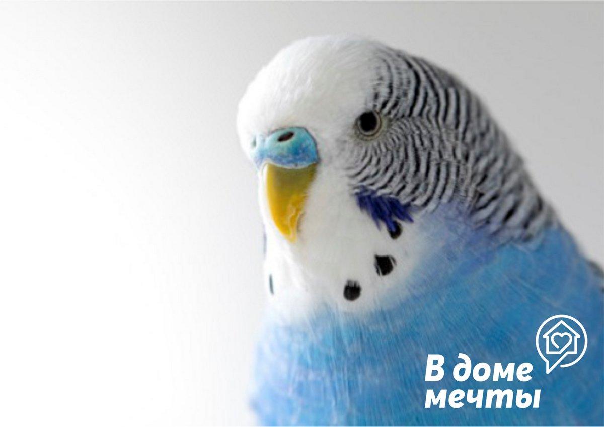 Определяем пол попугая неразлучника