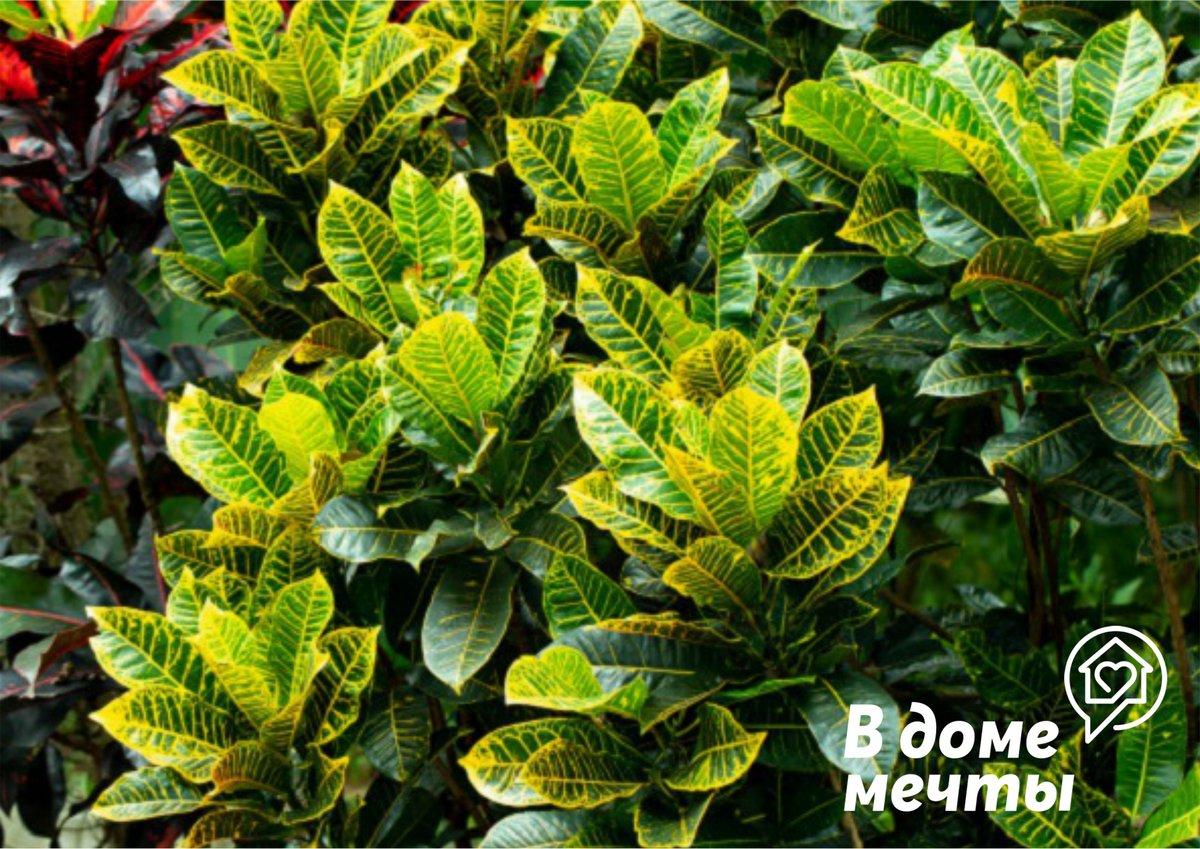 Прекрасный пестролистный кротон: нюансы ухода и выращивания