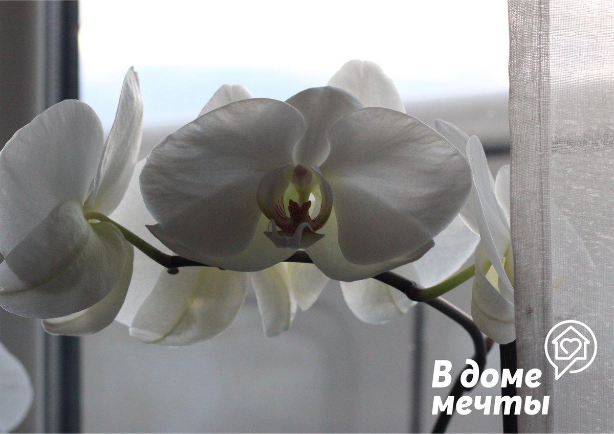 Раз в неделю можно устраивать орхидеям теплый душ