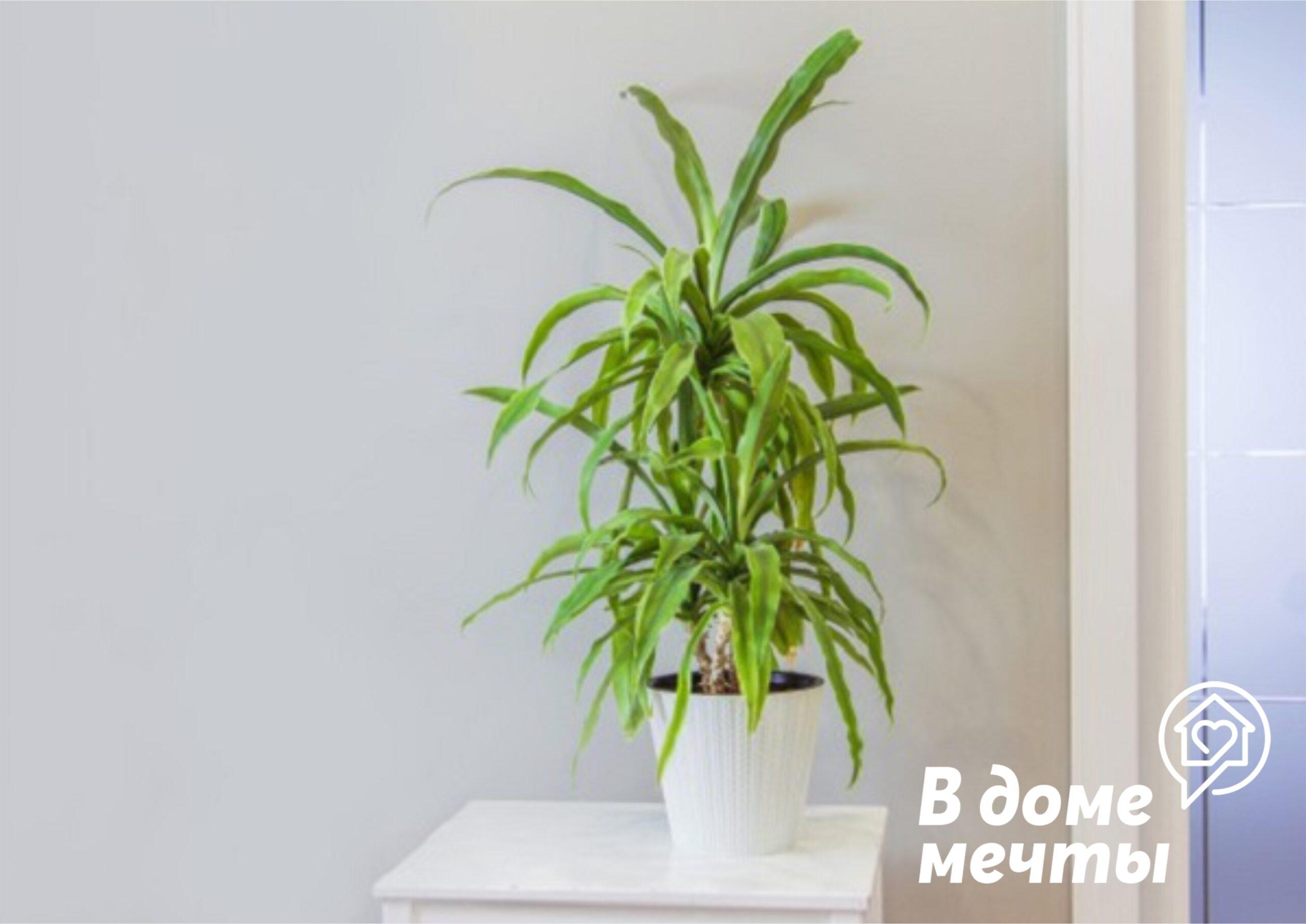 Шикарная комнатная пальма или юкка: основы выращивания необычного растения