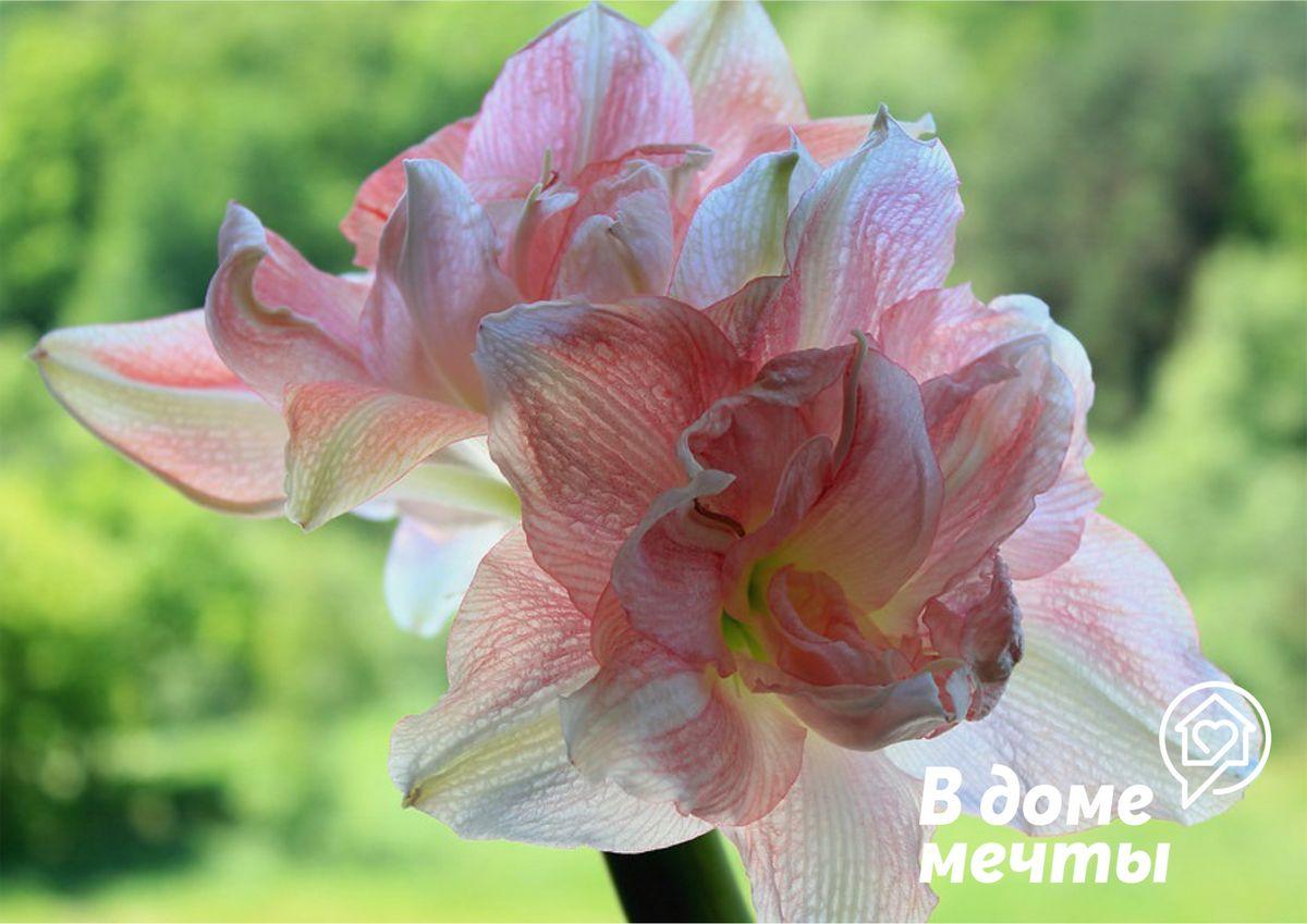 Восемь лучших видов луковичных растений для комнатного выращивания