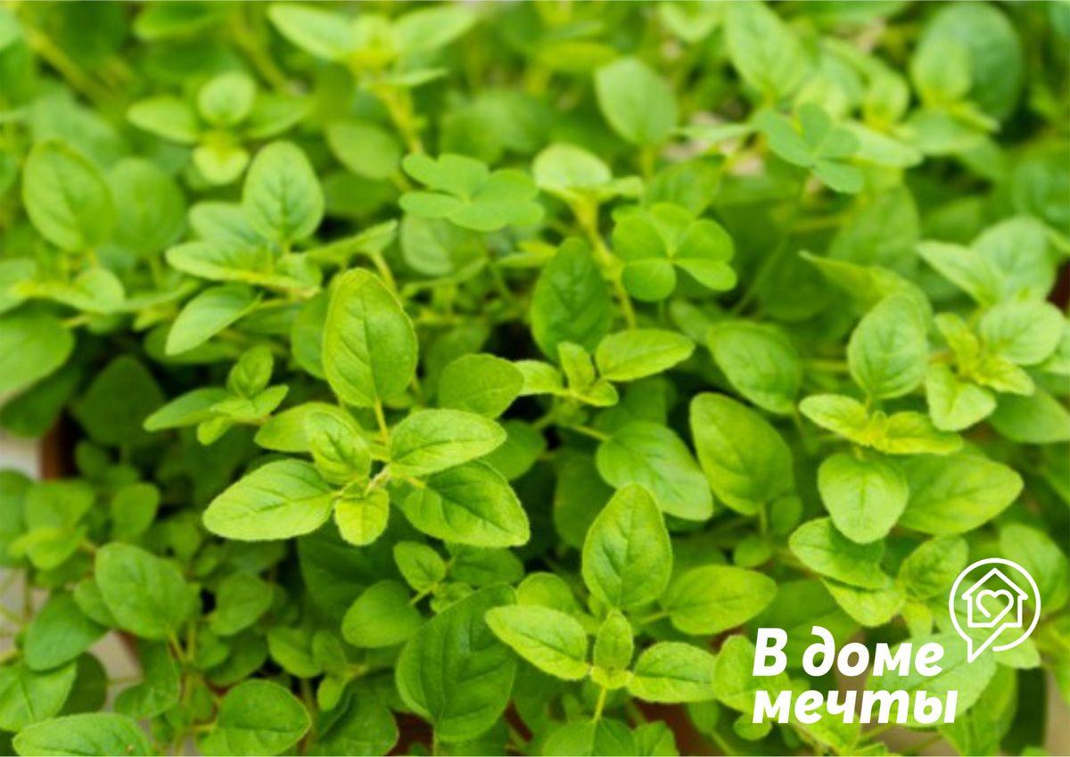 Топ-8 пряной и ароматной зелени для дома
