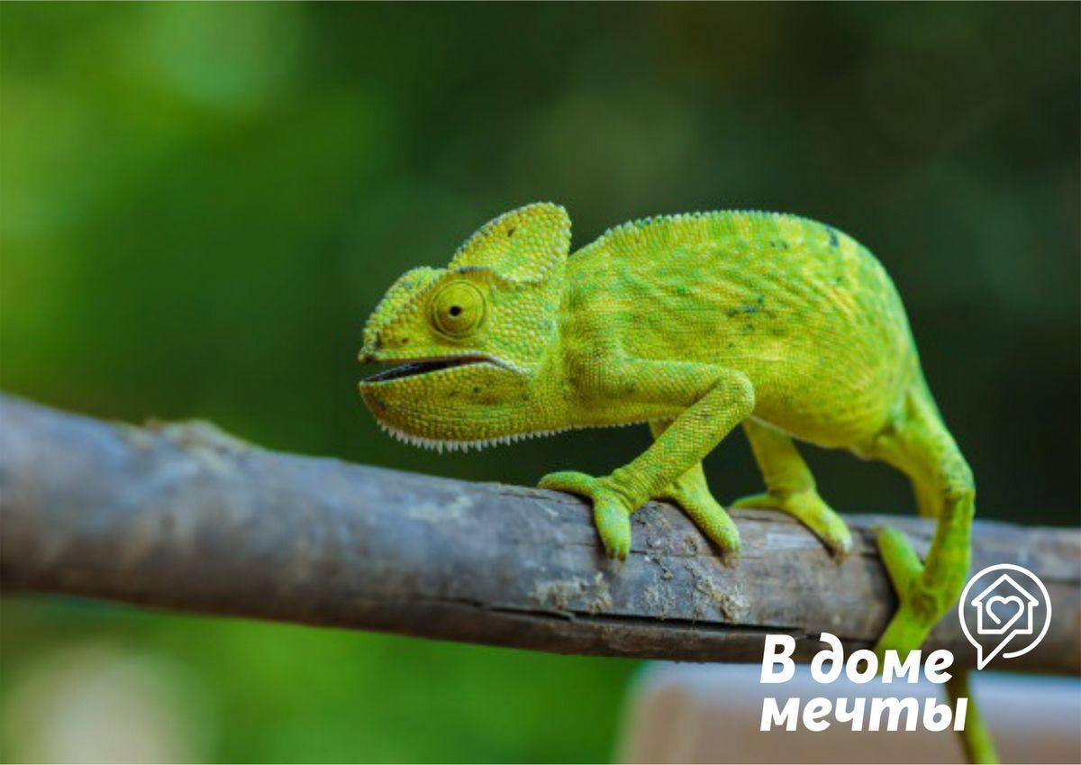 Хамелеон в доме: как ухаживать за экзотической рептилией