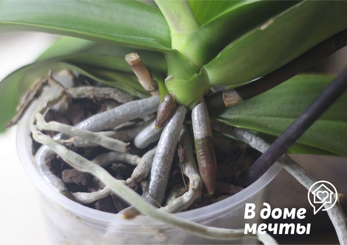 Как определить здоровые корни у орхидеи
