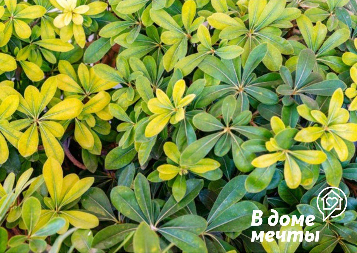 Тропическая шеффлера: все о выращивании красивого декоративного цветка