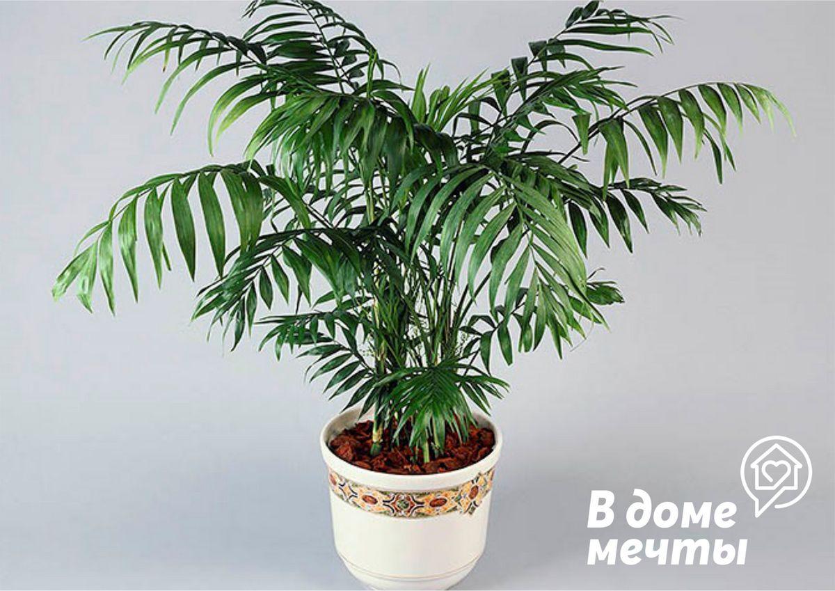 Девять самых красивых домашних пальм