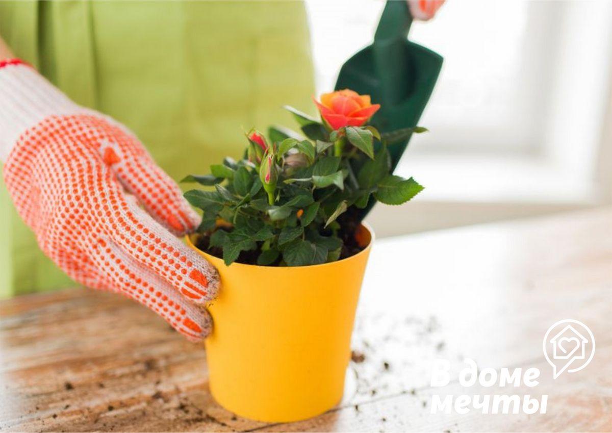 Прихотливая и капризная комнатная роза: все об уходе за цветочной культурой