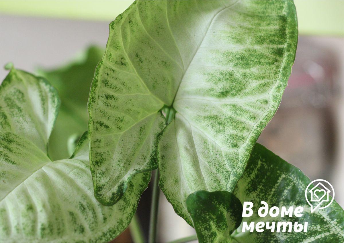 Выращивание декоративного сингониума: нюансы ухода за тропическим растением
