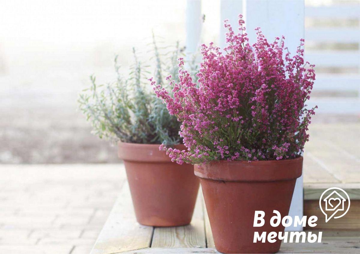 Комнатный вереск: как вырастить прекрасный кустарник в квартирных условиях