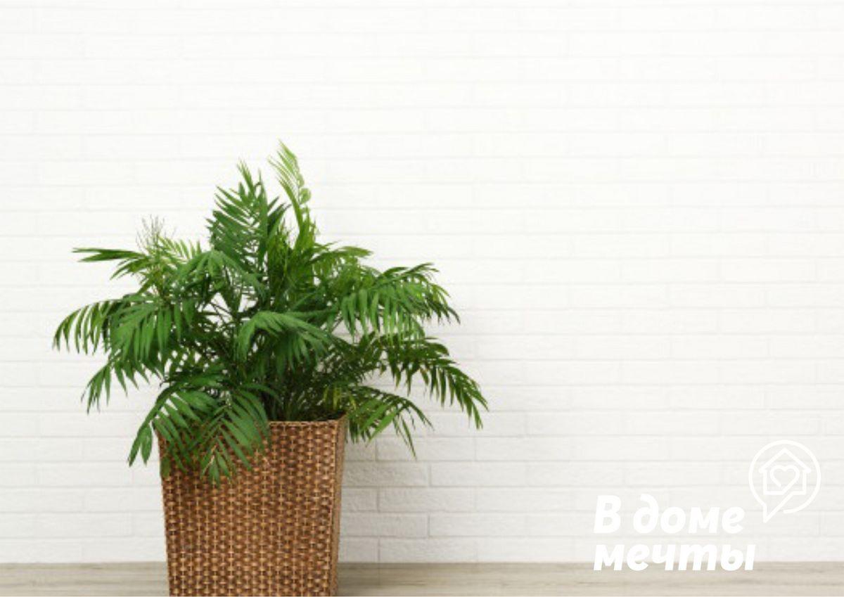 Самые шикарные комнатные пальмы: топ-9 разновидностей