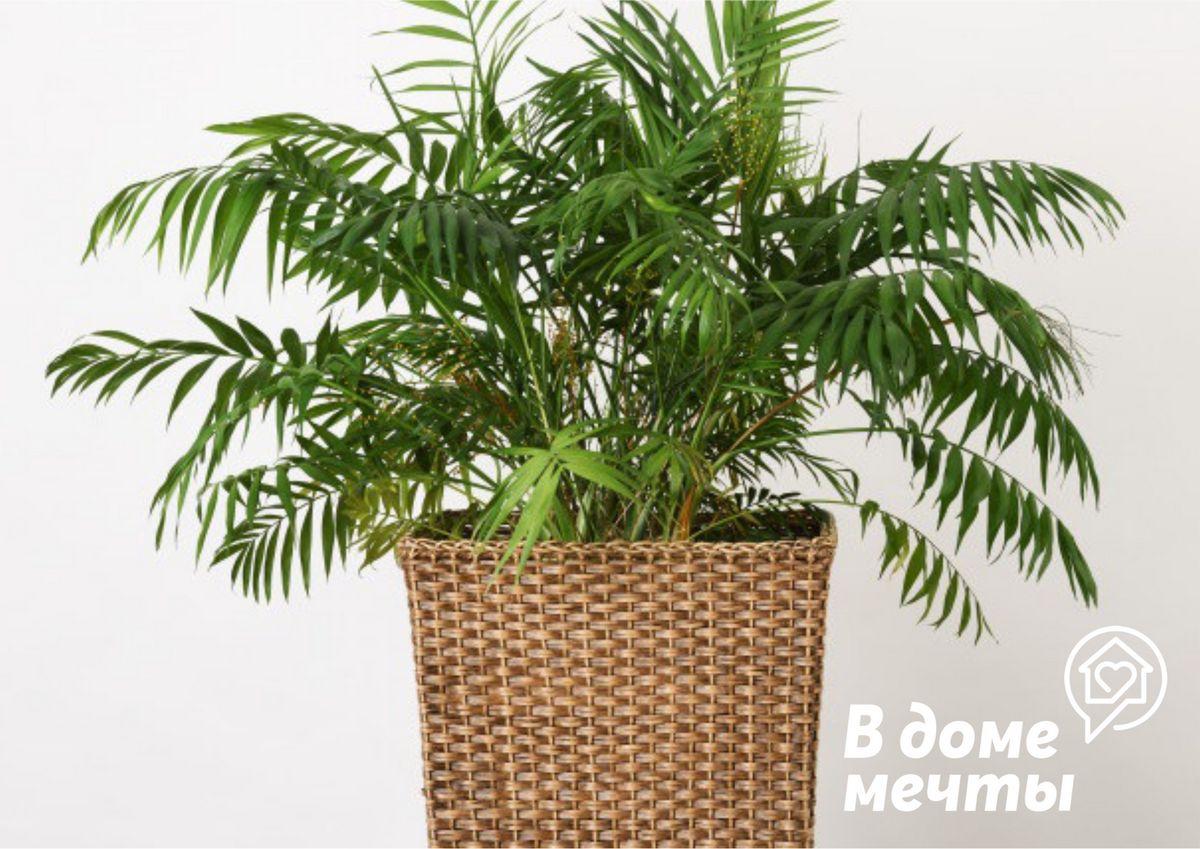 Все об уходе за финиковой пальмой: как ухаживать за экзотической культурой в квартирных условиях