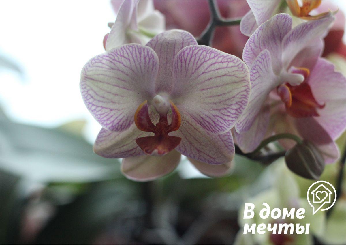Нет цветоносов на фаленопсисе: топ-8 причин