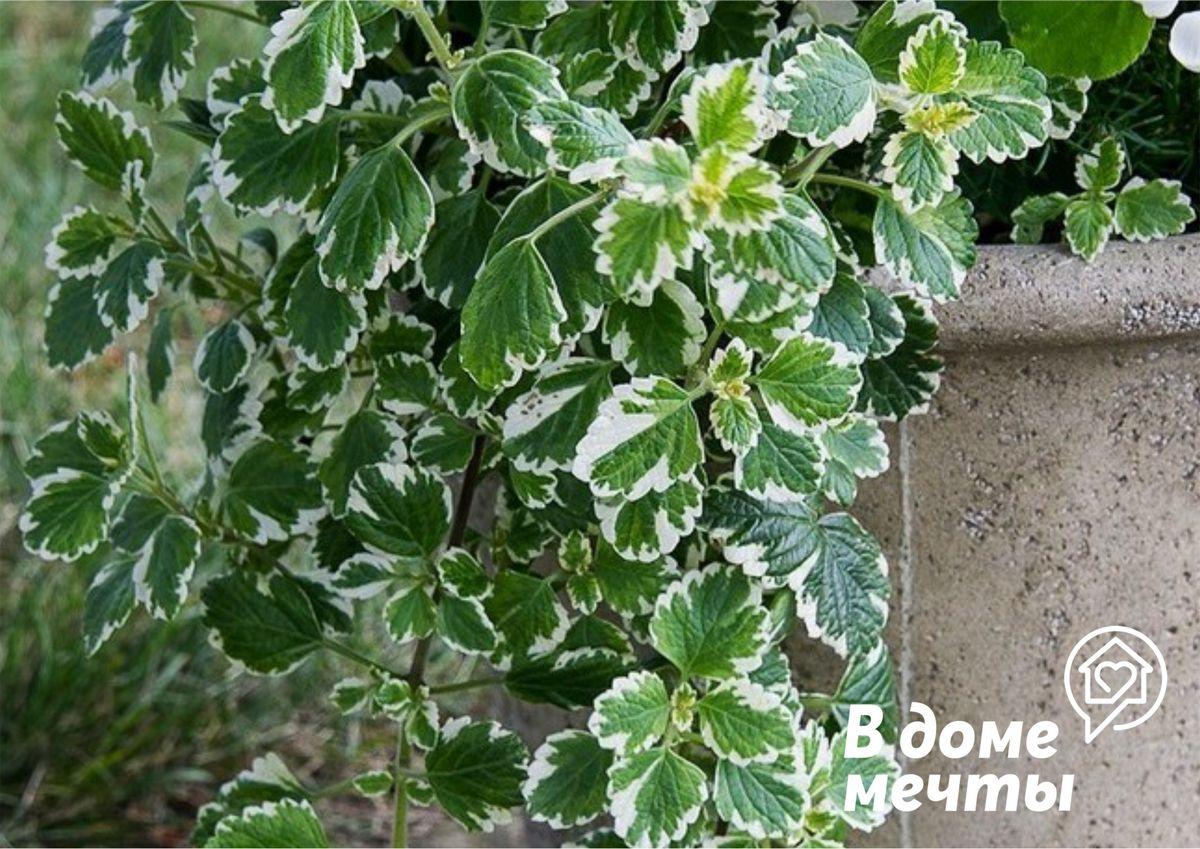 Комнатный плектрантус: особенности выращивания ароматного цветка