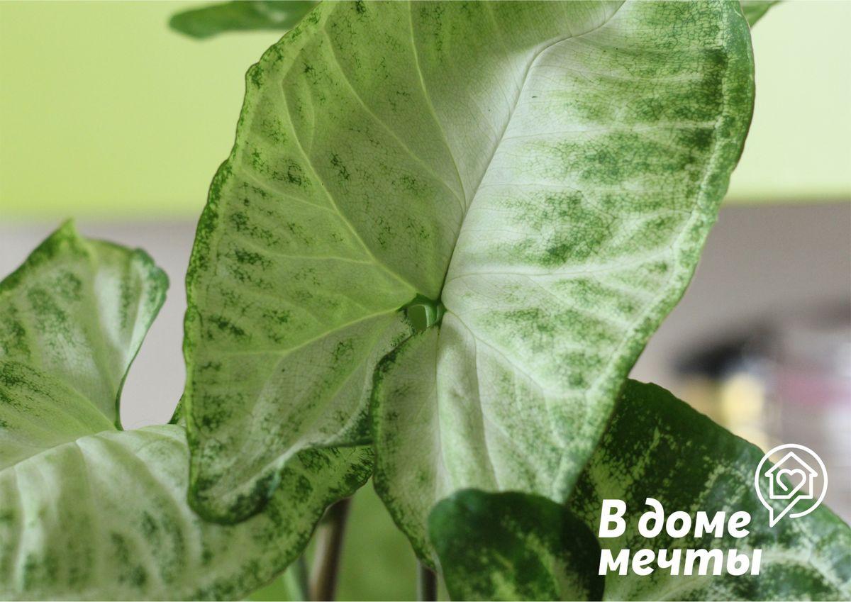 Так как сингониум является влаголюбивой культурой, нужно обильно и систематически проводить полив растения