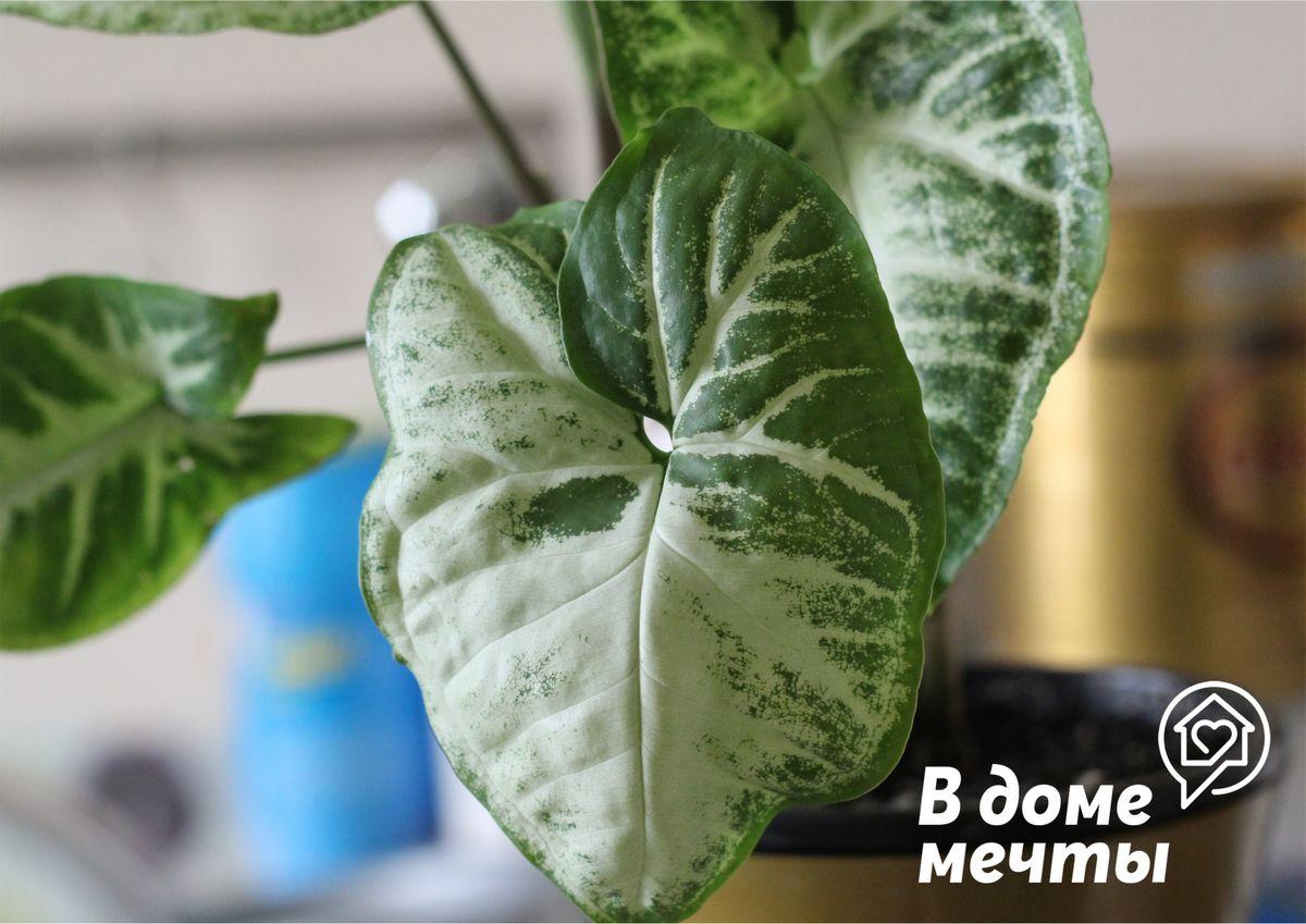 Размножать это декоративное растение очень легко