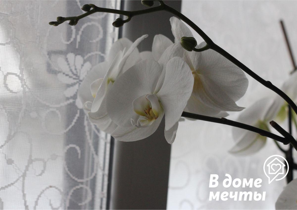 Если исключить эти факторы, существует большая вероятность, что орхидея даст молодые цветоносы