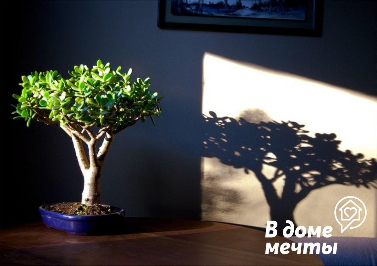 Денежное дерево увядает? Успейте спасти растение от гибели!