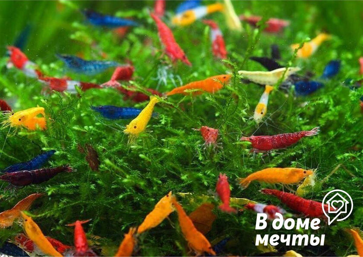 Хотите завести экзотического домашнего питомца? Поселите в домашний аквариум креветку!