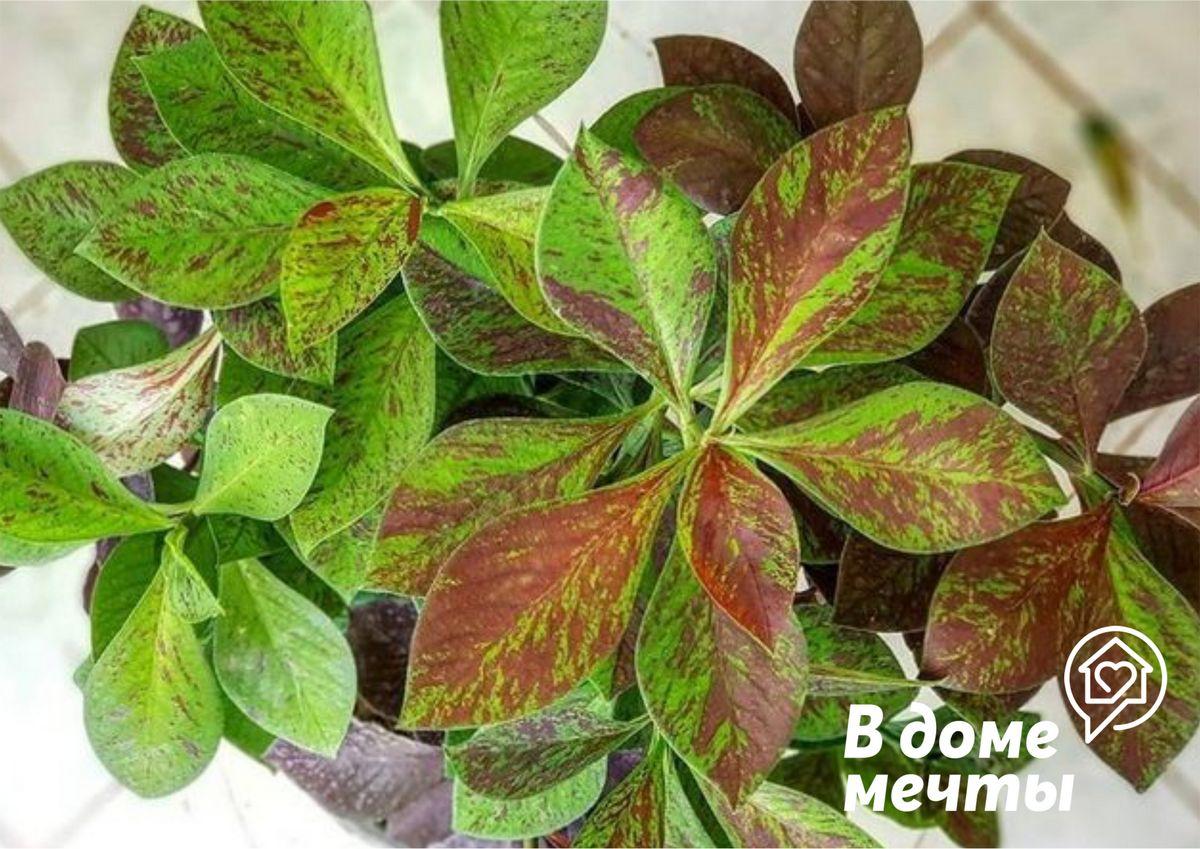 Особенности выращивания синадениума Рубра