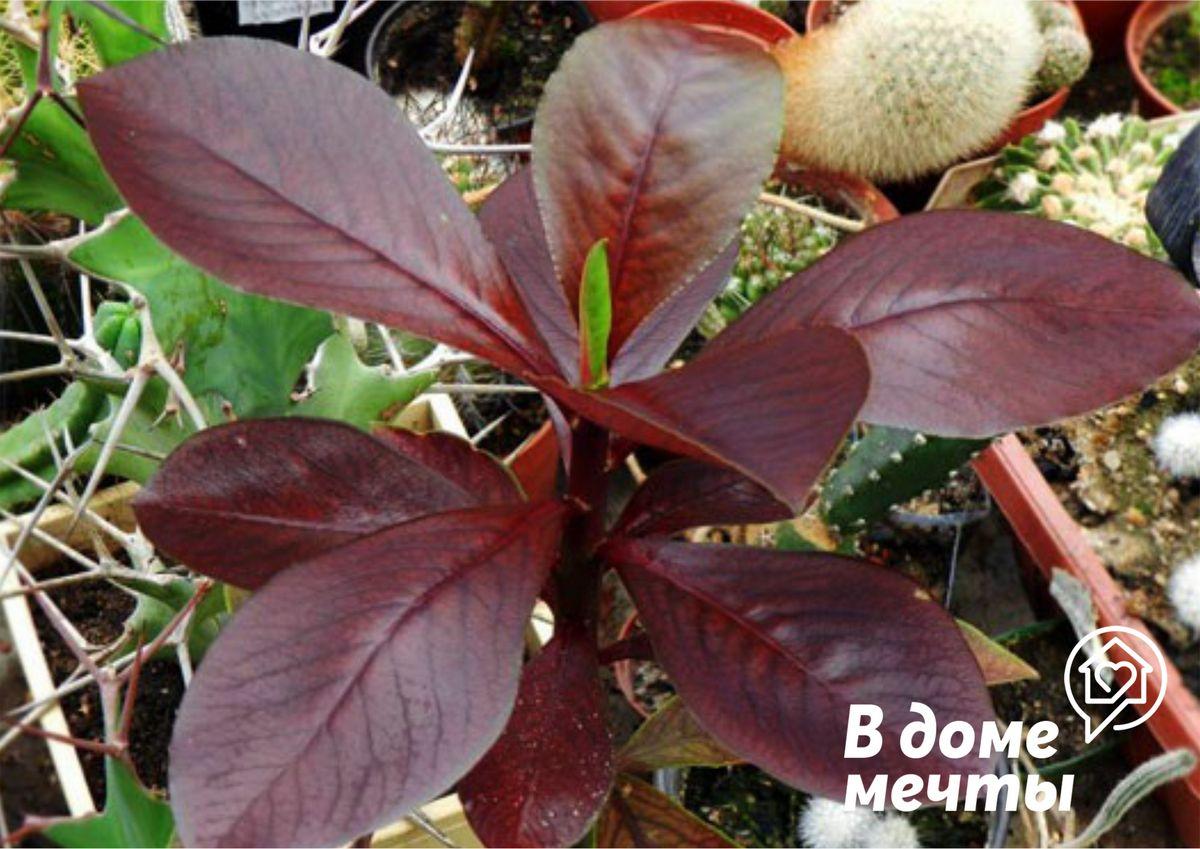 Знаменитый молочай синадениум: как вырастить красивое декоративное растение на домашнем подоконнике без лишних хлопот
