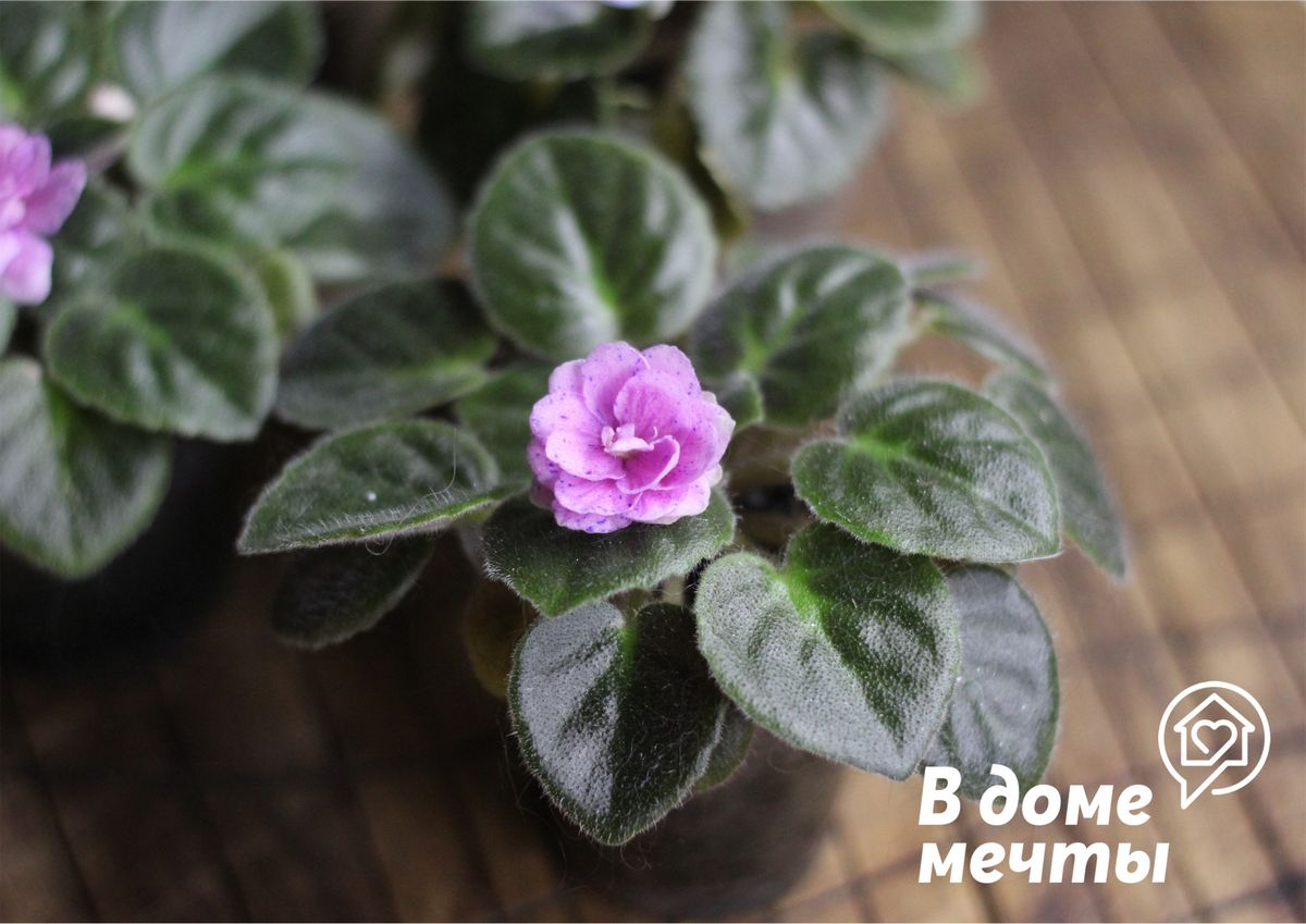 Отсутствие цветения у фиалки: топ-6 причин