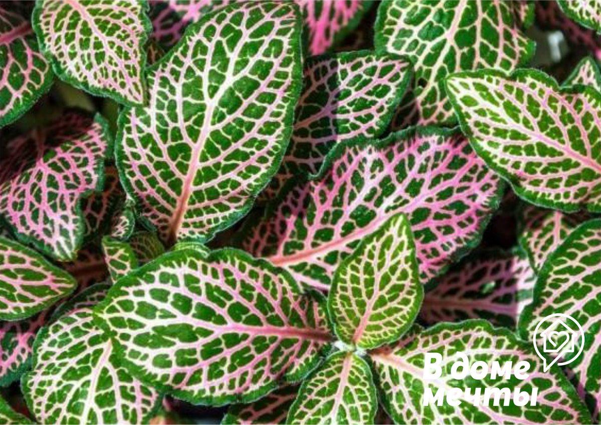 Фиттония - шикарный комнатный цветок с пестрыми и красочными листьями, который заставит вас влюбиться с первого взгляда!
