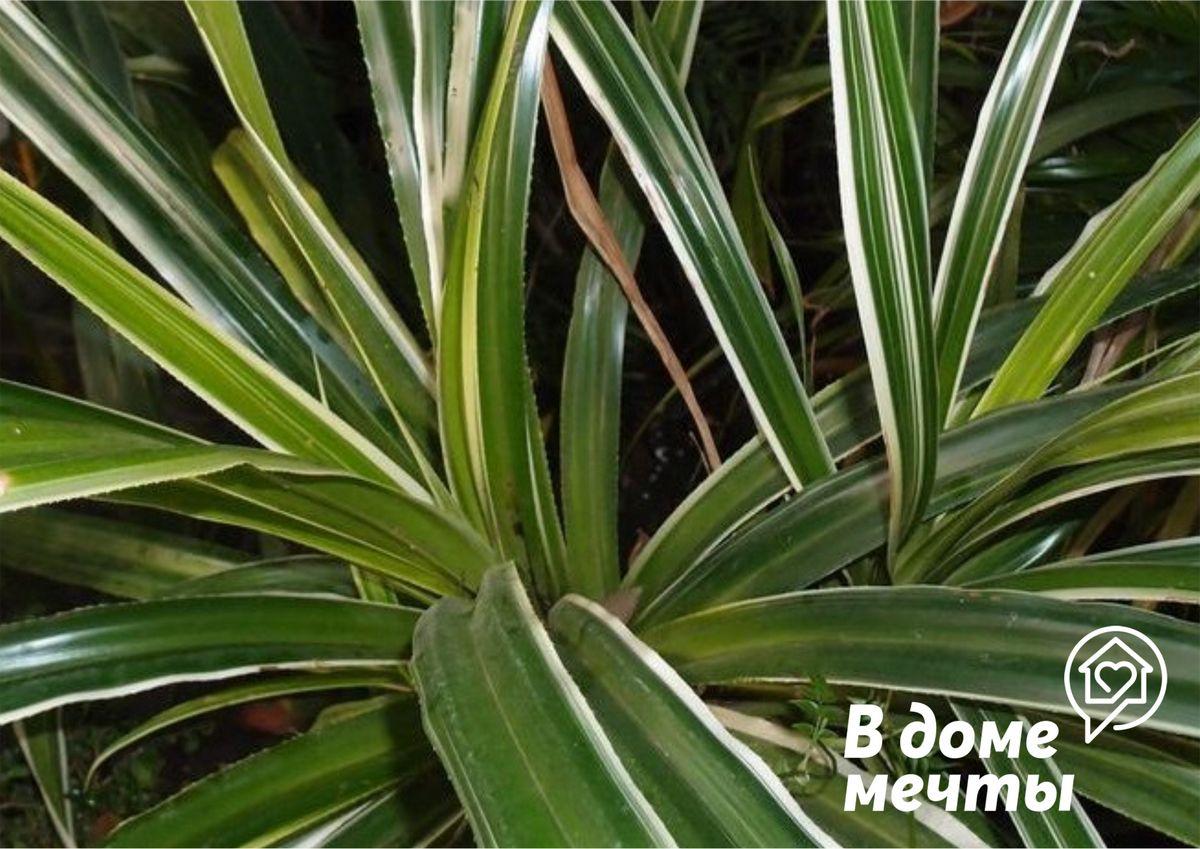 Панданус - шикарная домашняя пальма, которой практически не нужен уход!