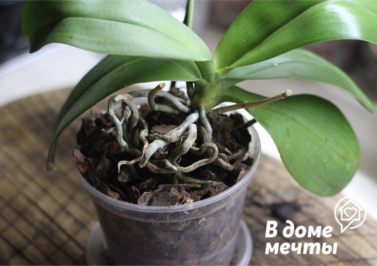 Чтобы орхидея пышно цвела, нужно вовремя ее пересаживать! Как пересадить взрослую орхидею - подробная инструкция