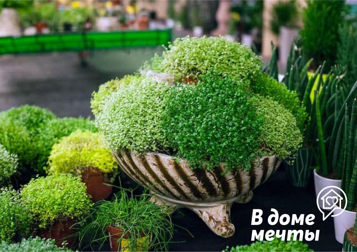 Самый красивый почвопокровный многолетник для самого стильного подоконника - миниатюрная солейролия