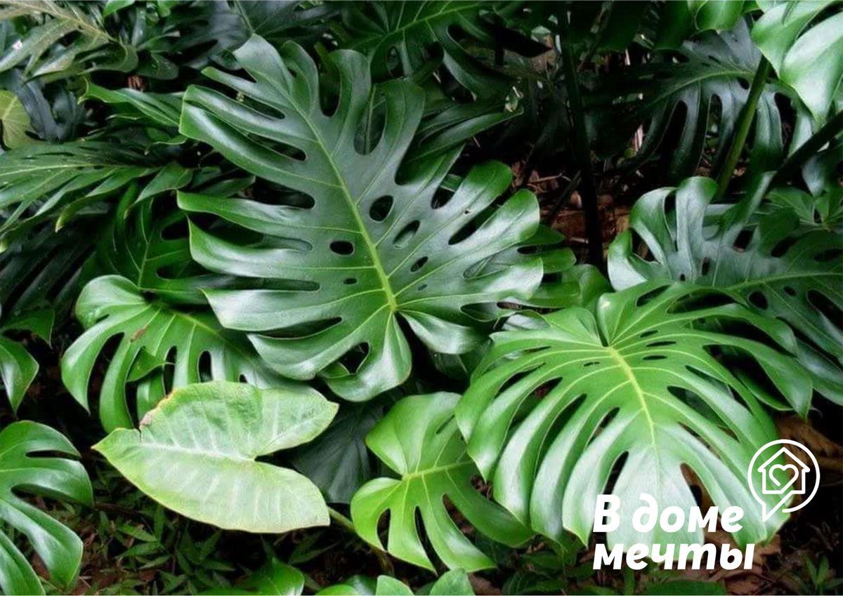 Как вырастить самое популярное растение из инстаграм? Все о выращивании шикарного тропического цветка - монстеры