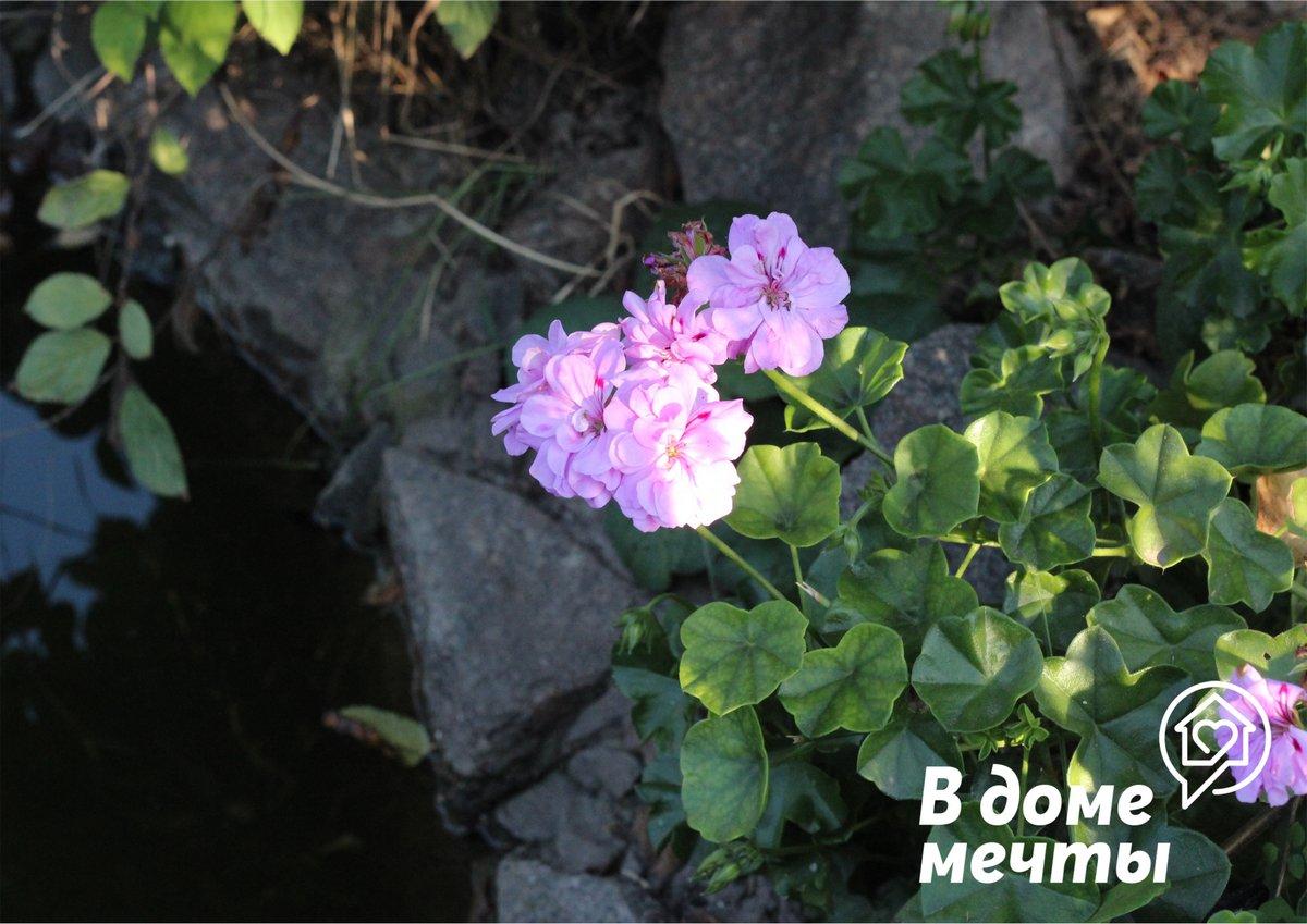 ●Пеларгония. Отличается крупными и нежными цветками самого разного окраса
