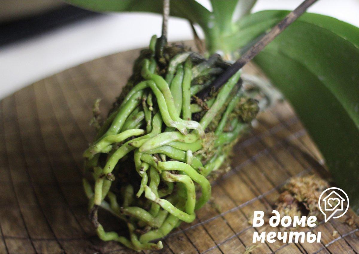 Как правильно пересадить тропическую орхидею